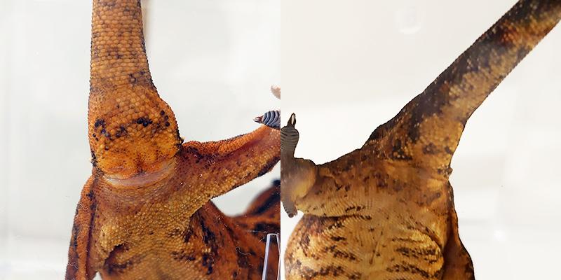 【見分け方①】尻尾の付け根の膨らみで見分ける