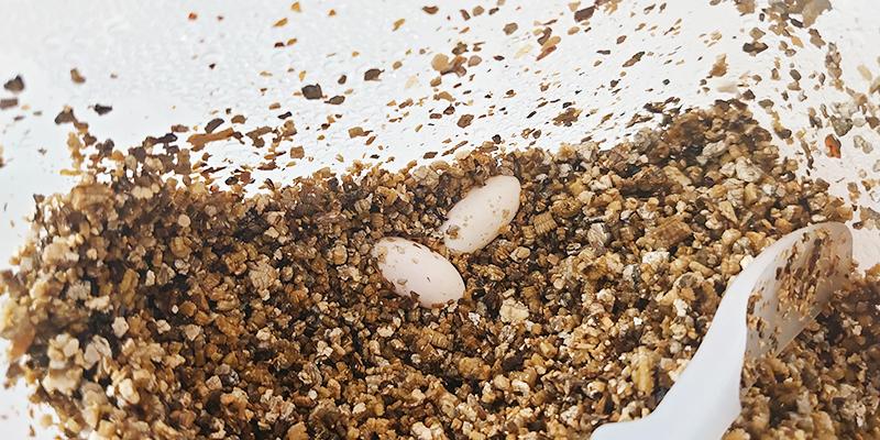 【ガーゴイルゲッコーの飼育用品】産卵床用床材 ポゴナ・クラブ バーミキュライト